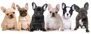 French Bulldog puppies in a photoshoot professionally done
