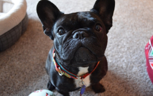 Female french bulldog with a collar