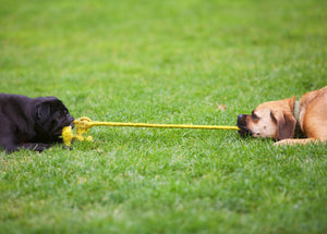 tug of war with a frenchie