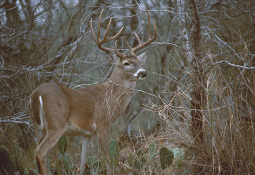 Buck Fever 10 Pointer