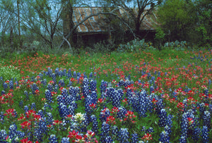 Barn in Texas Wildflowers