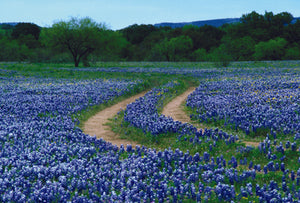 Road Curved in Bluebonnets