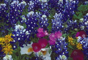Brilliant Texas Wildflowers