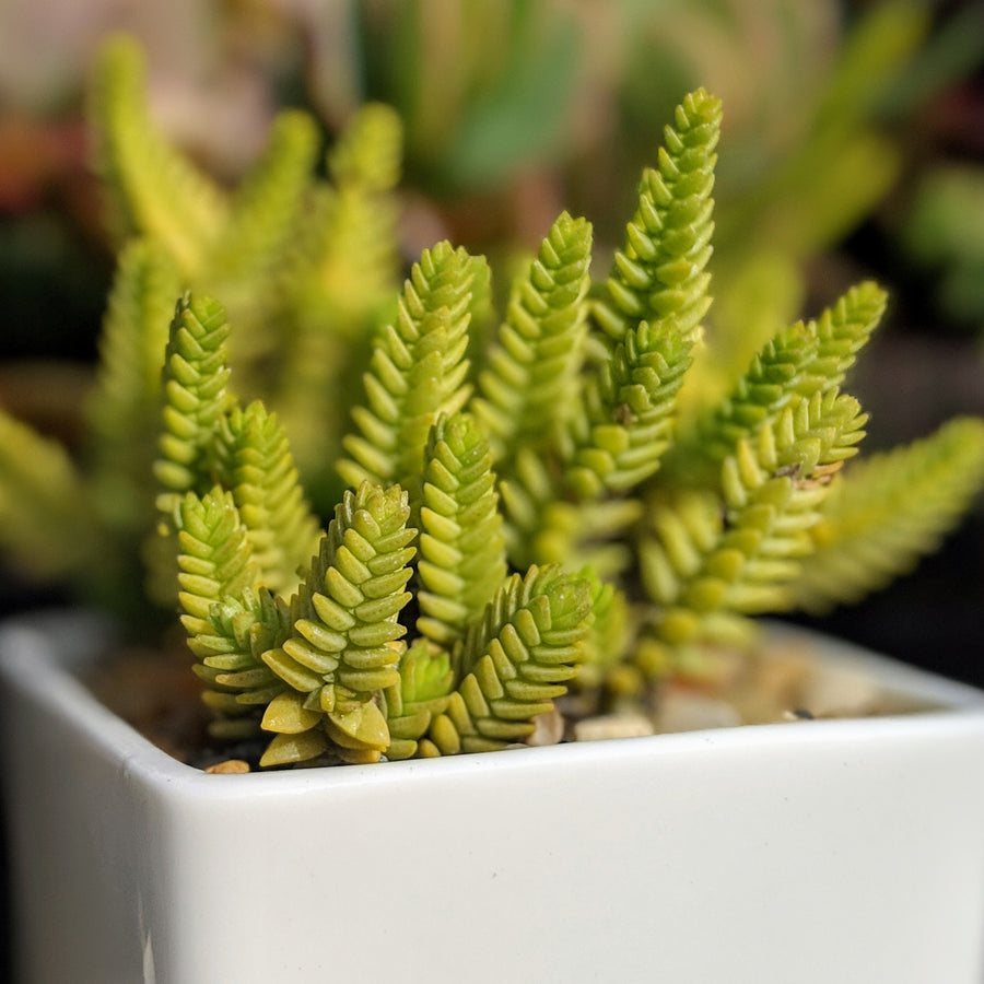 Crassula imperialis - Giant Watch Chain - Vivid Root
