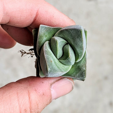 Crassula moonglow - Vivid Root