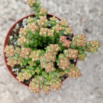 Crassula tom thumb - Vivid Root