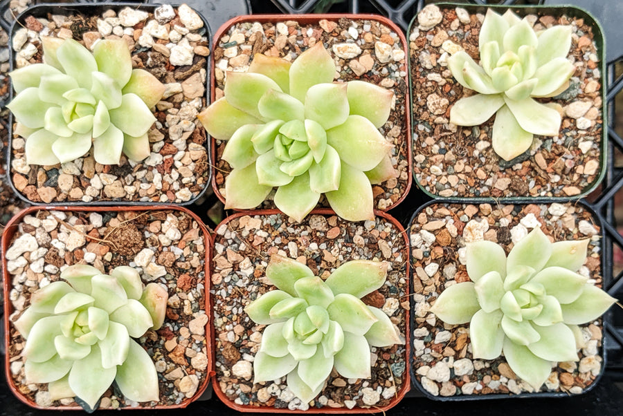 Sedeveria Marcus Variegated - Vivid Root