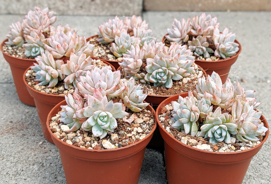 Echeveria pink mystery cluster - Vivid Root