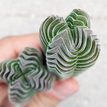 Crassula Buddha's Temple - Vivid Root