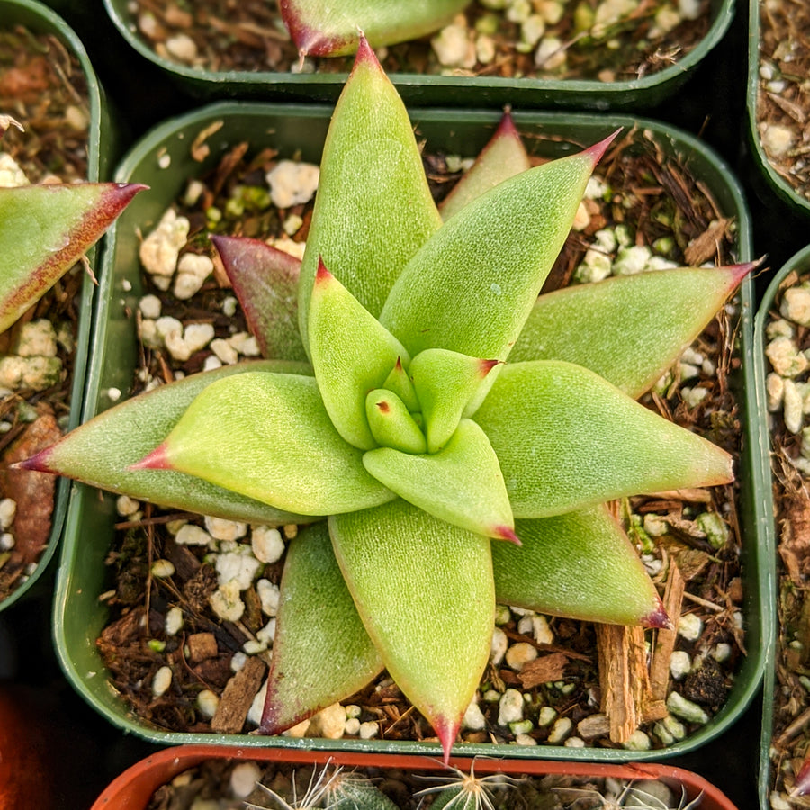 Echeveria agavoides Red Blush - Vivid Root
