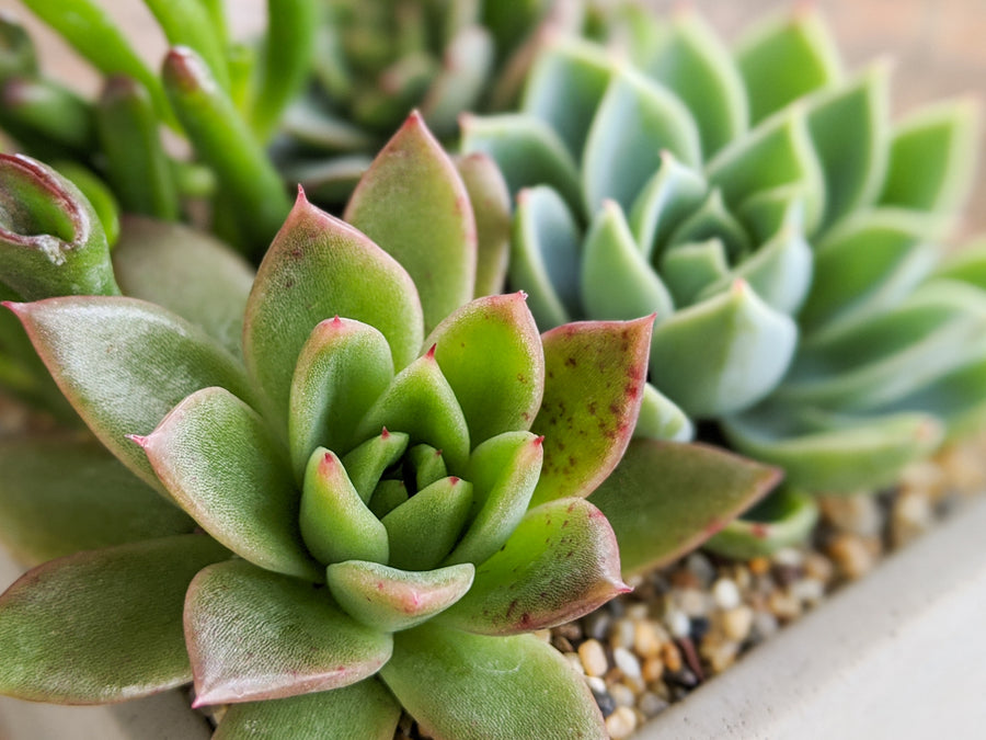 Succulent Arrangement Kit - Vivid Root