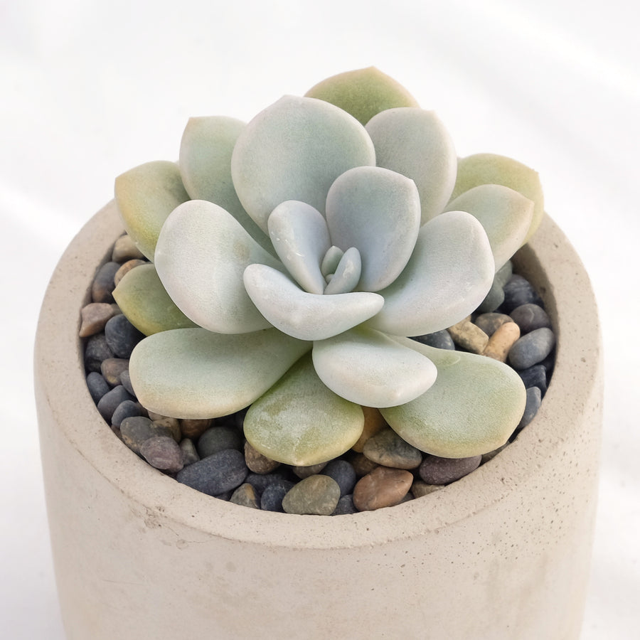 Graptoveria Margaret Rose - Vivid Root