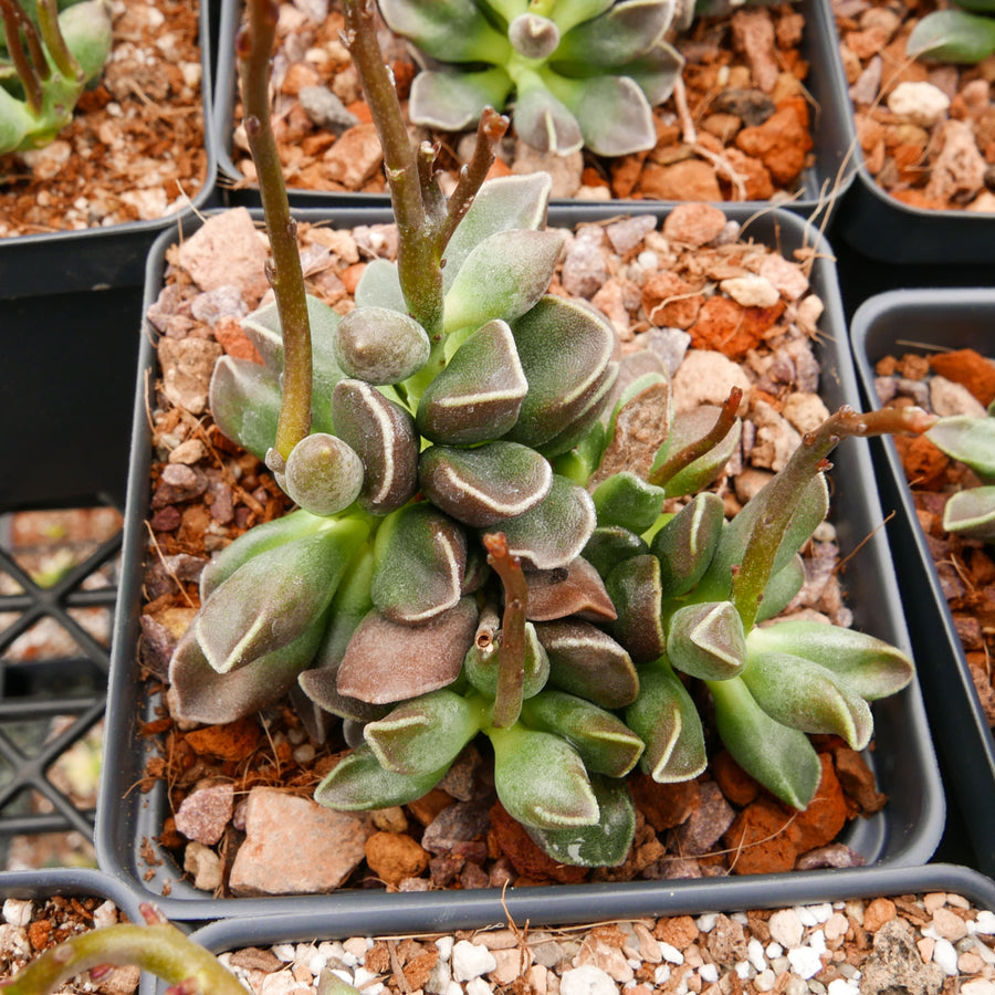 Succulent Plant--Adromischus marianiae /'Dark Side/'--ONE LEAVE for Rooting!