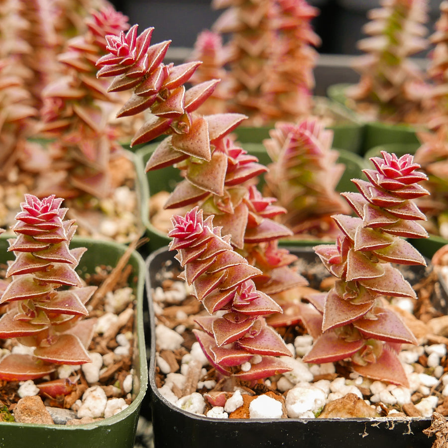 Crassula capitella ssp. thyrsiflora - Red Pagoda - Vivid Root