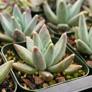 Pachyveria 'Glauca' - Little Jewel - Vivid Root