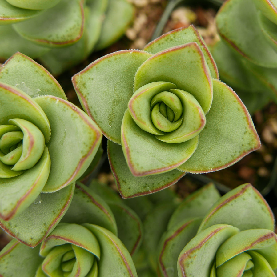 Crassula perforata - String of Buttons - Vivid Root
