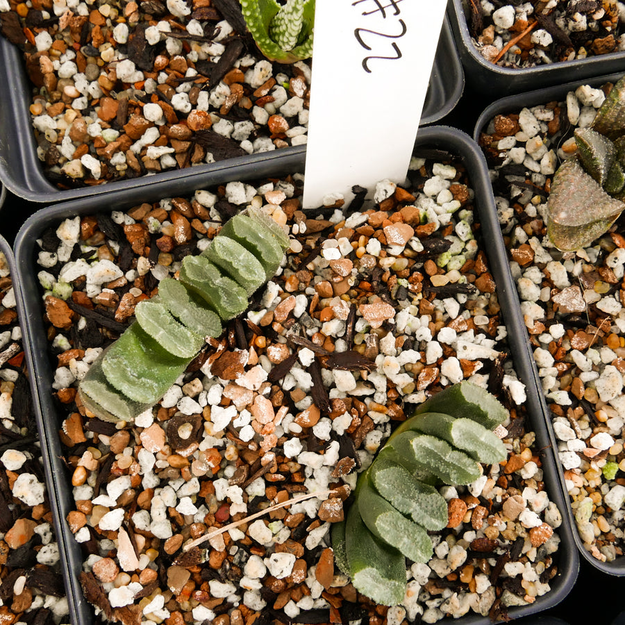 Haworthia truncata