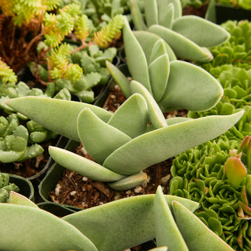 Crassula falcata - Vivid Root