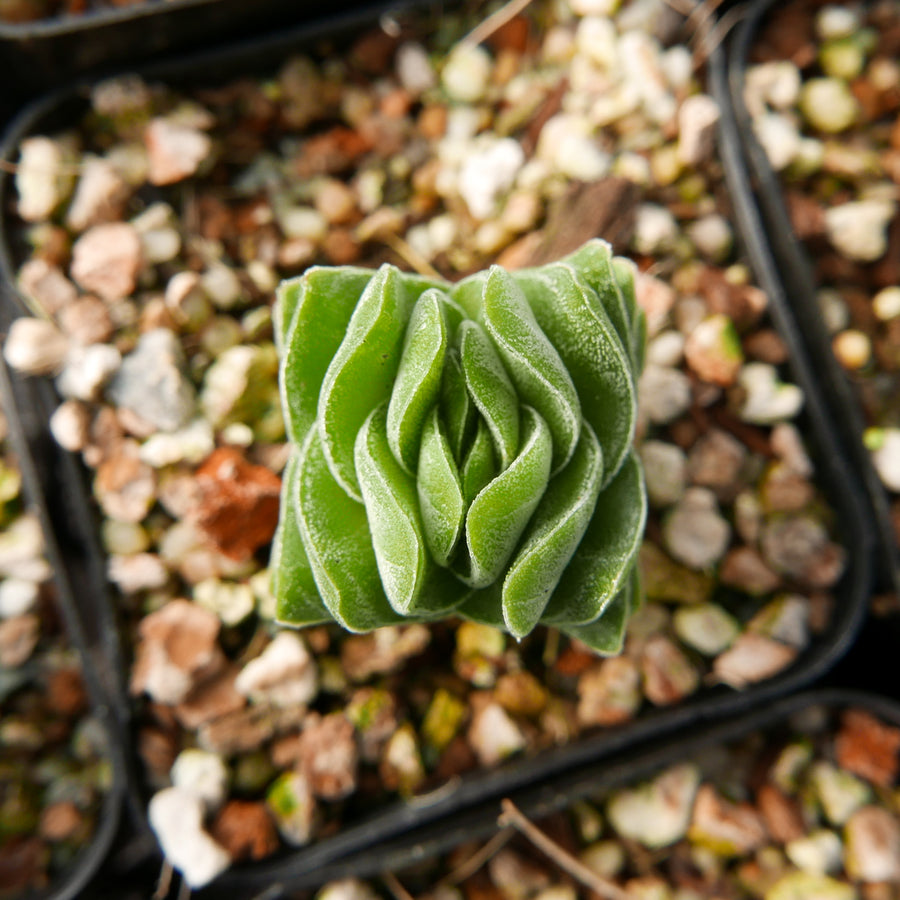Crassula 'Buddha's Temple' - Vivid Root