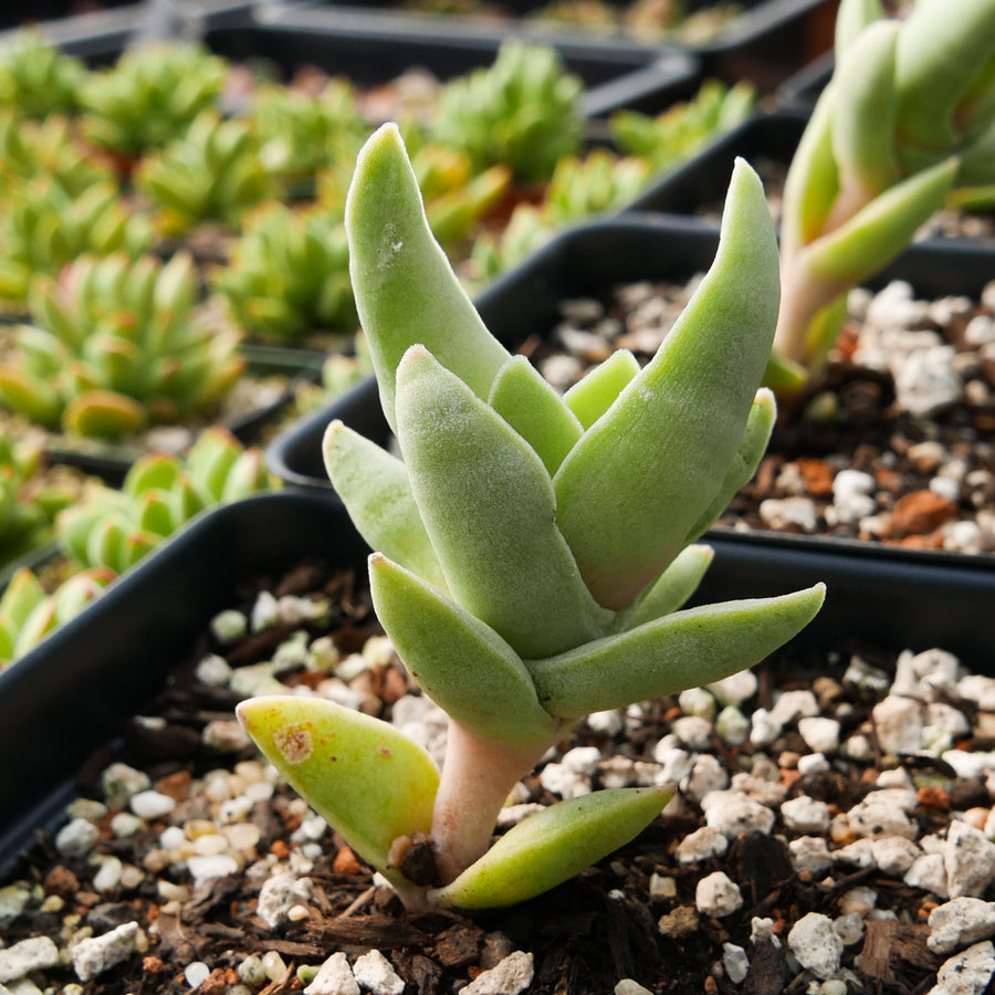 Crassula falcata 'mini'