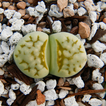 Lithops julii 'Peppermint Creme'