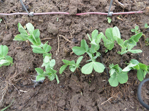 The REAL dirt on sprouting peas!  Secrets to growing early peas, late peas, and every sweet crunch in between.