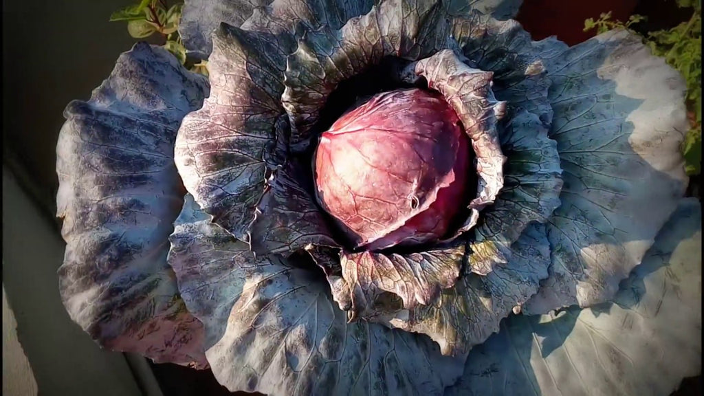 Organic pest management:  Imported Cabbage Worm