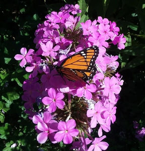 Honoring Homero Gomez Gonzales- Activist who fought to protect monarch butterflies