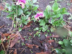 Effortless gardening success:  Self-sowing annuals!
