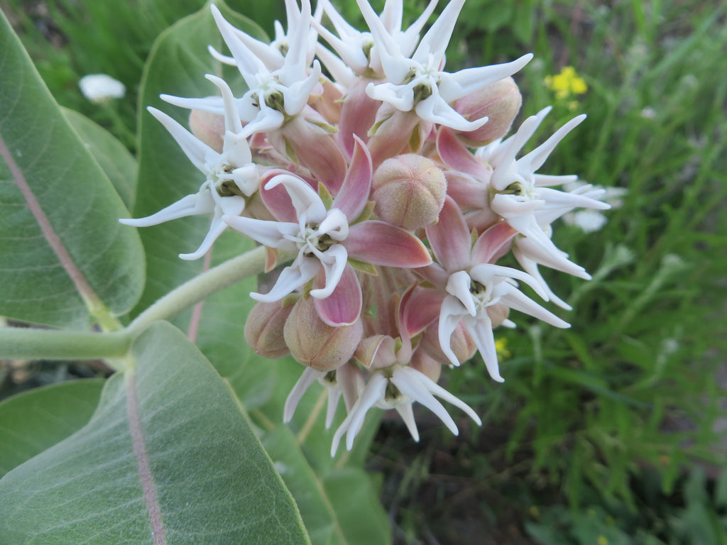Growing Milkweed for Monarch Butterflies