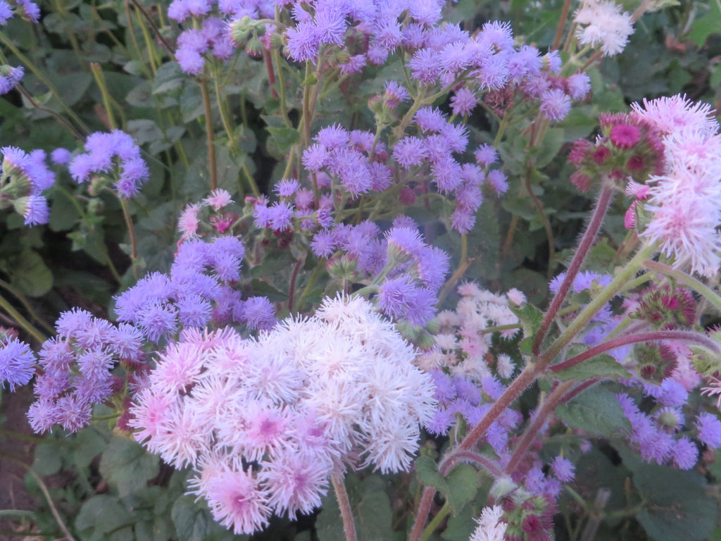 Ageratum Purple Pastels Organic Giving Ground Seeds