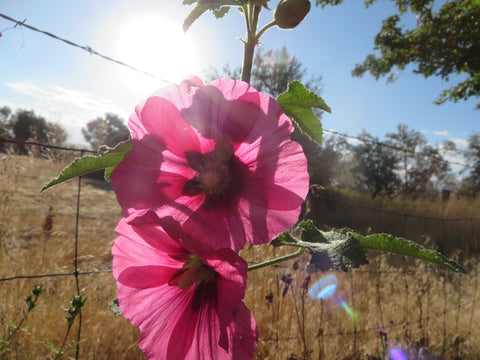 Hollyhock Mix (Organic)