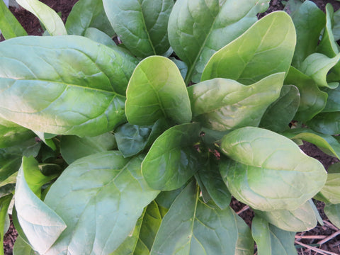 Winter Giant Spinach (Organic)