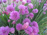 Pink Chives (Organic)