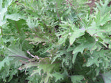 Kale:  Over-wintering Mix
