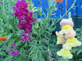 Tall Snapdragon Mix (Organic)