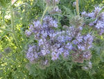 Lacy Phacelia, Bee's Friend