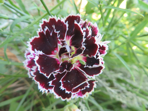 Black and White Minstrels Dianthus
