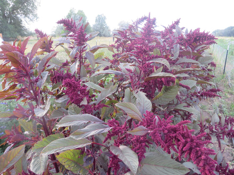 Amaranth, Hopi Red Dye (Organic)
