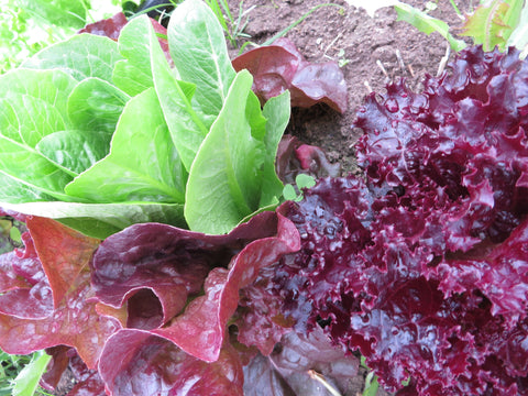 Giving Ground Lettuce Mix