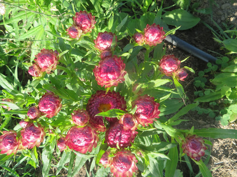 Strawflower- Tom Thumb