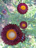 Strawflower Mix (Organic)