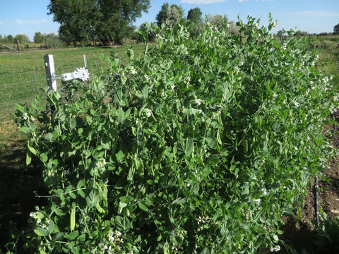 Swenson Swedish Snow Pea (Organic)