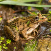 Needs of Plants and Animals - Leopard Frogs and Porcupine Grass