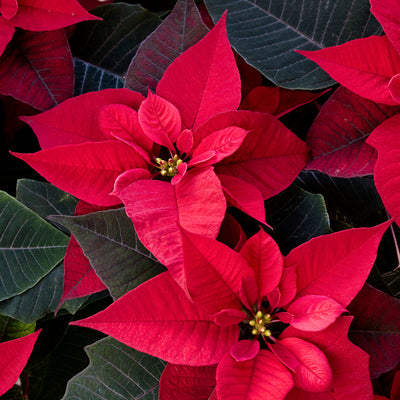 Classroom Chemistry | Lesson 10 - Poinsettia Chemistry