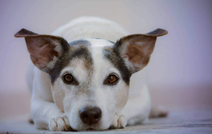 How to Clean a Dog's Ears Without a Lot of Fuss