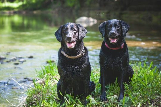 two black labs by the river having fun
