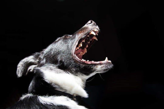 black and white dog barking