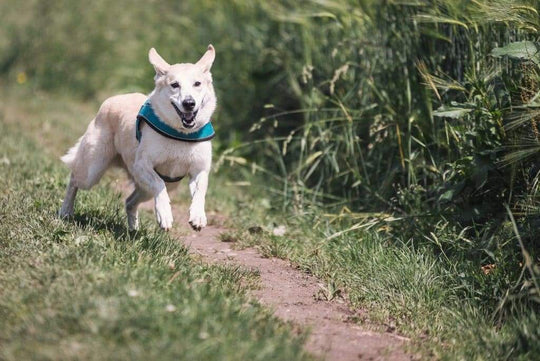 How much exercise does a dog need every day. Husky Mix running through a field.