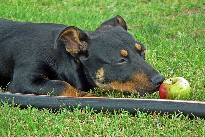 Dogs and Apples. Are They OK for Your Dog?